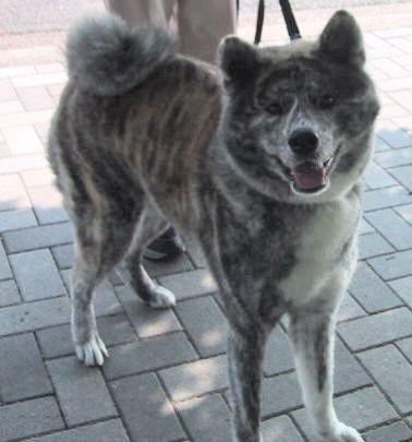 秋田犬の画像 p1_28